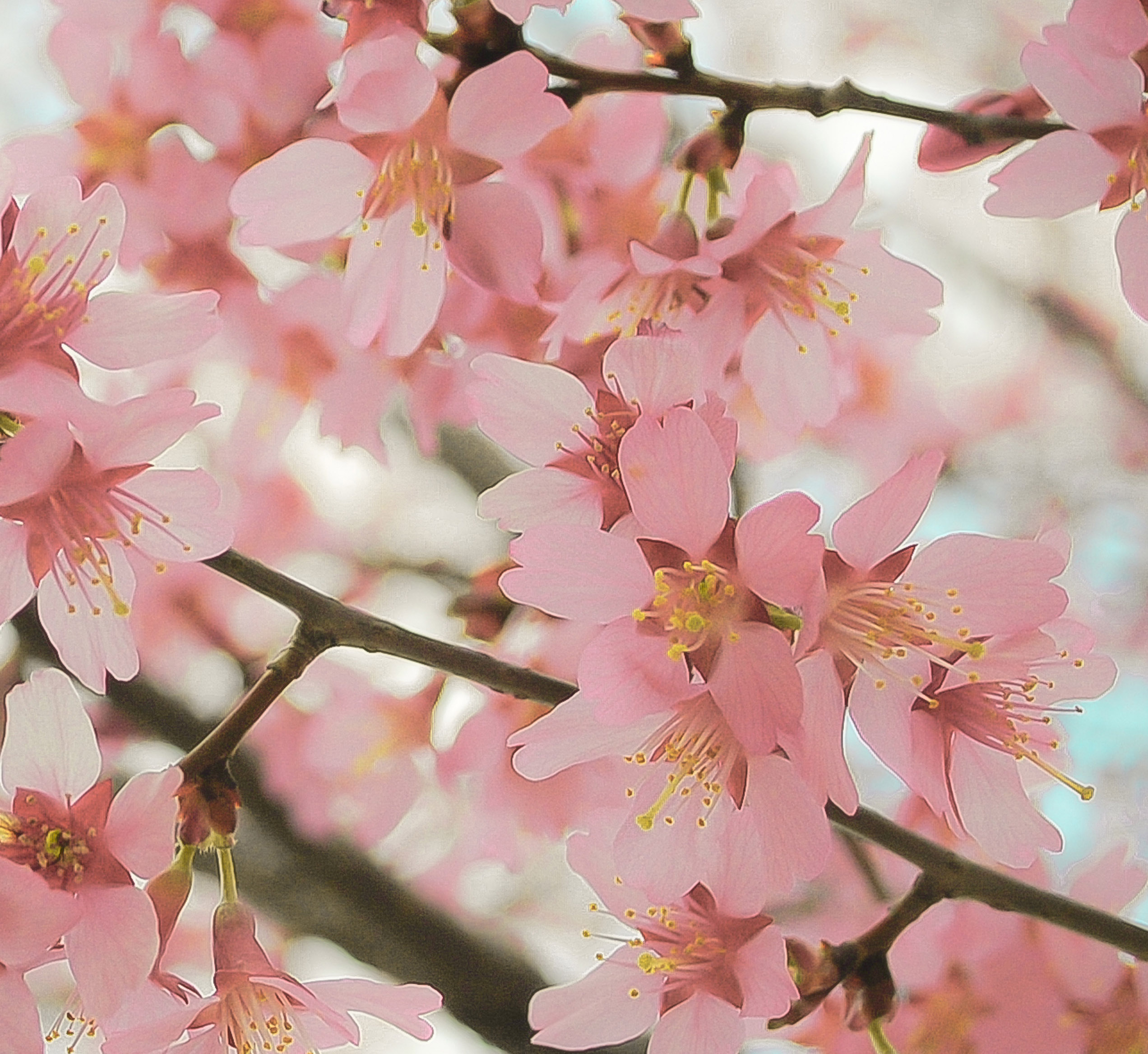 reverence 8 x 10 fine art photograph cherry blossom