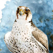 Lanner_20falcon_20web_medium