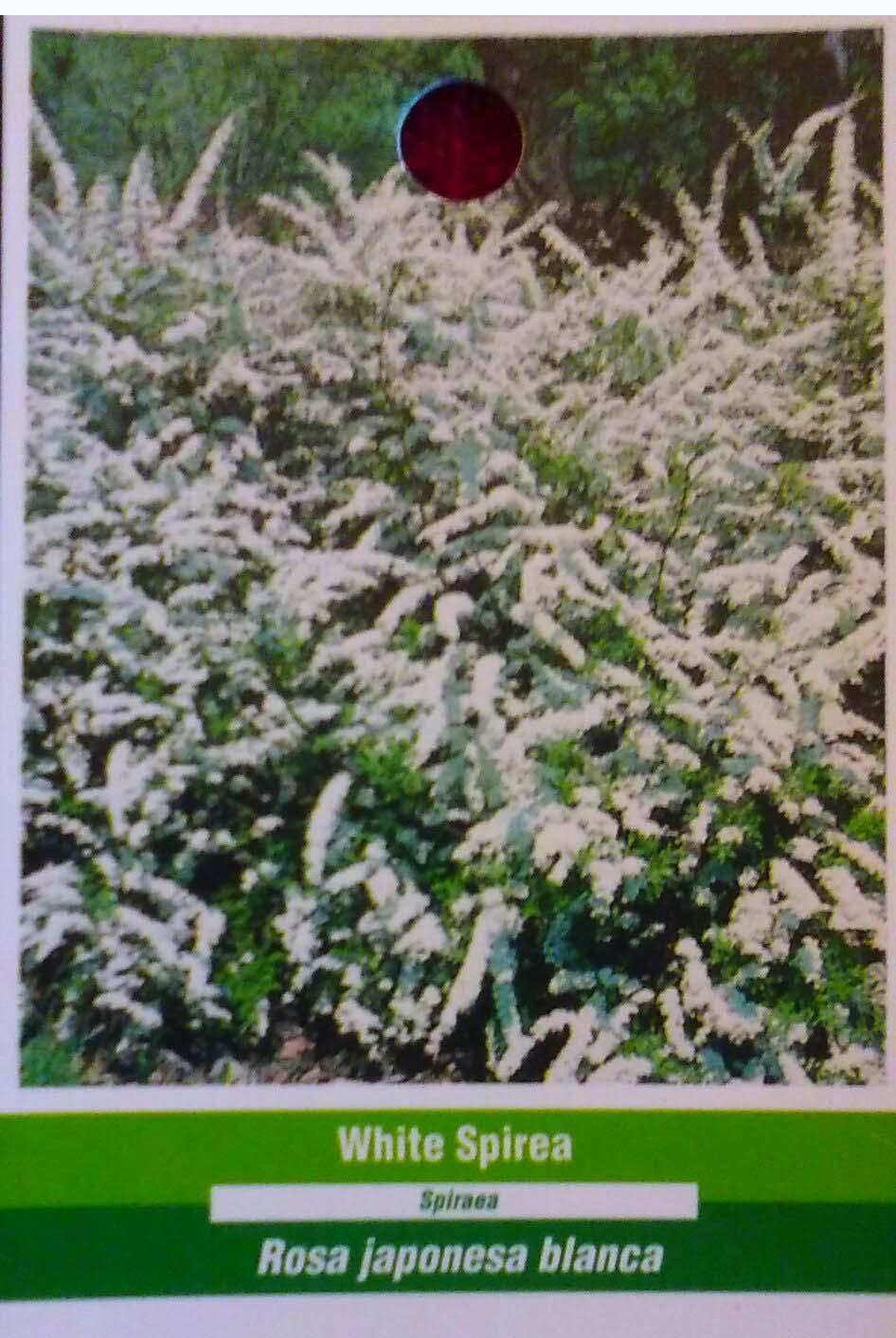 White Spirea Flower Hedge Bush Flowers Blooms Plant Easy Grow Live ...