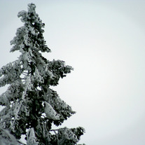 (Photo) Snow Capped Tree
