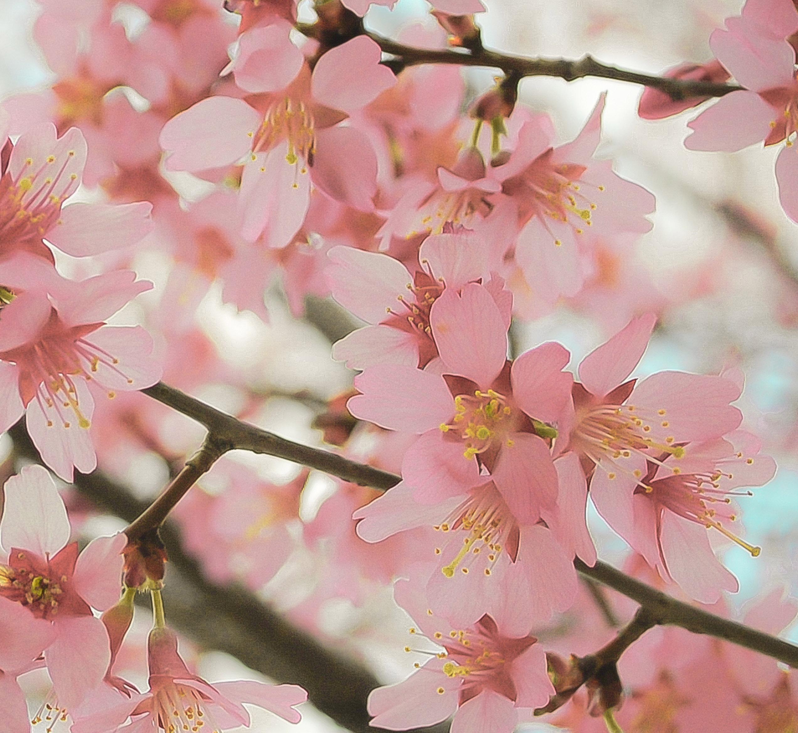 8 X 10 Fine Art Photograph, Cherry Blossom