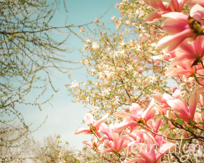 Initia Nova 8 X 10 Fine Art Photograph Spring Trees Magnolia Tree Photo Spring Landscape Photography Nature Photography Pastels Jenndalyn Art Online Store Powered By Storenvy