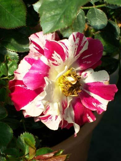 Fourth Of July Climber Rose 3 Gal Bush Live Nice Plants Plant